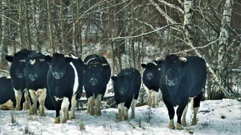 As vacas de Chernobyl adotaram comportamentos de animais selvagens