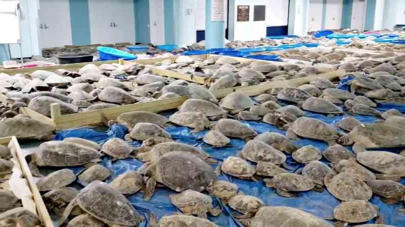 Nos EUA, voluntários salvam quase 5.000 tartarugas do frio; veja vídeo