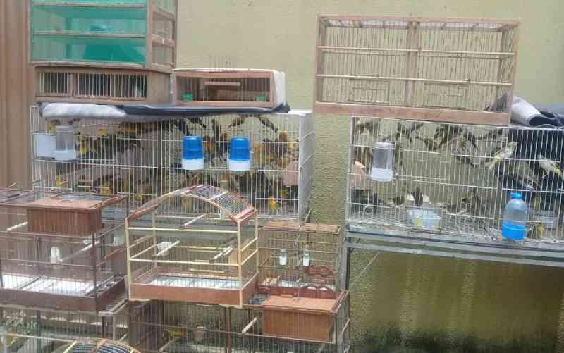 Homem é preso suspeito de maus-tratos e por manter ilegalmente mais de 500 pássaros em casa de Aparecida de Goiânia, GO