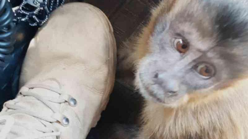Macaco é resgatado após ser atropelado na BR-050, em Cumari, GO