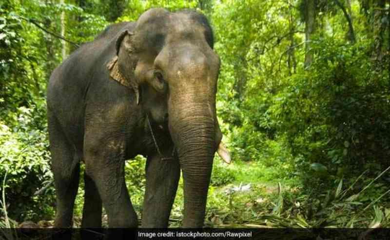 Outro elefante é encontrado morto em santuário da selvagem na Índia; é a sexta morte neste mês