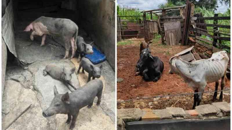 Animais são encontrados com sinais de maus-tratos em abatedouro ilegal na Grande BH; dono é preso