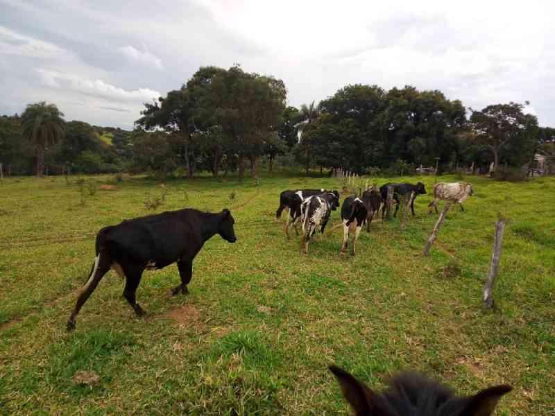 ONG paga R$ 61 mil em vacas e bezerros para eles não serem abatidos na Grande BH, MG