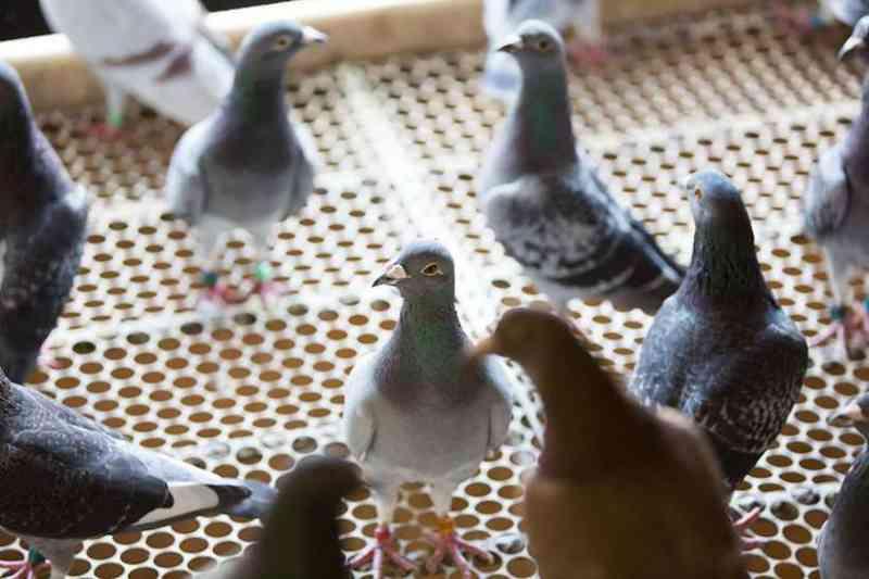 Criadores forçam retirada de projeto que proíbe criar e alimentar pombos em Divinópolis, MG