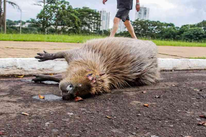 Capivara morre atropelada e filhote é resgatado ferido em Campo Grande, MS