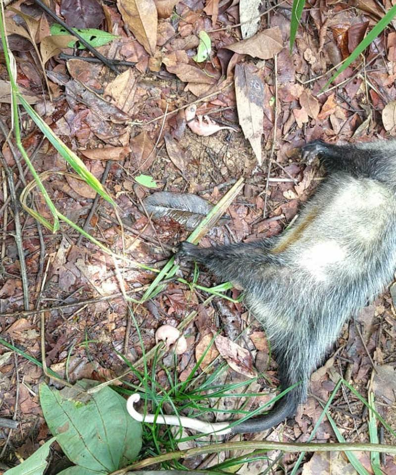 Professor retirou animal dos fios de alta tensão e encontrou filhotes dentro da bolsa ventral — Foto: PMA/Divulgação