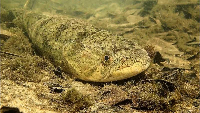 Peixes que alimentam de itens de fundo dos rios também será afetada negativamente. — Foto: Tai Strietman/Foto