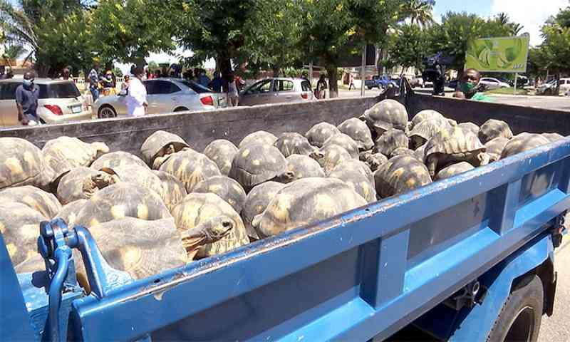 Ministério Público salva tartarugas que viveram 20 anos em cativeiro na Ilha de Moçambique
