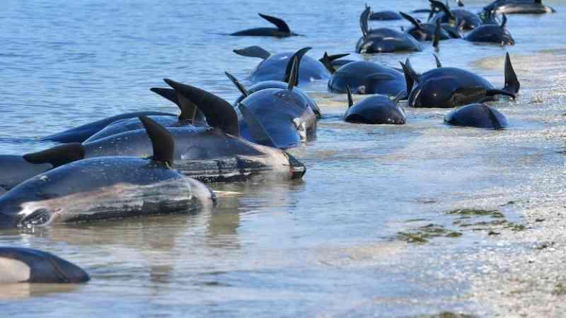 Dezenas de baleias-piloto encalhadas na Ilha Sul da Nova Zelândia