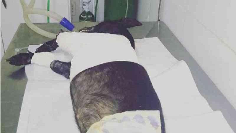 Cachorro baleado por suposto policial militar na Vila da Barca morre após cirurgia, em Belém, PA