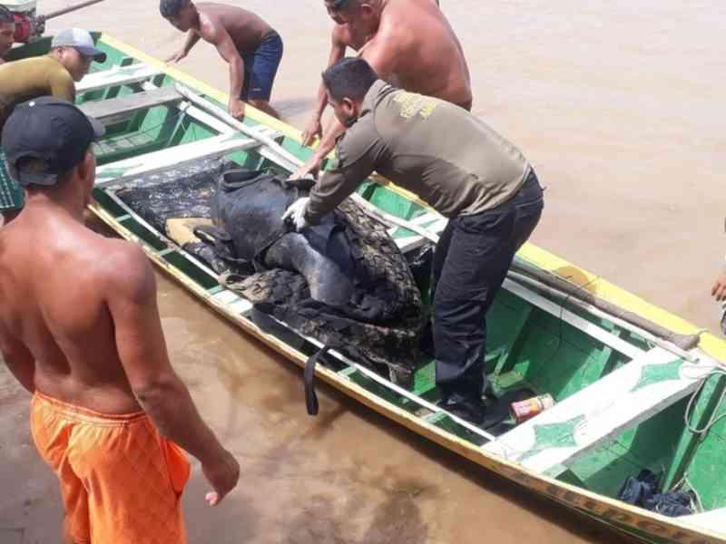 Peixe-boi é encontrado por pescadores enrolado em malhadeira em comunidade de várzea de Santarém, PA