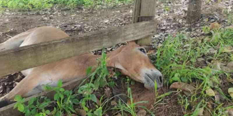Homem mata a tiros mula que invadiu propriedade rural em Tailândia, PR
