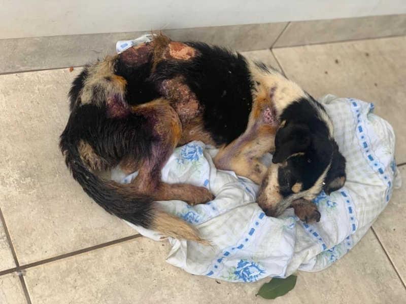 Cão queimado é resgatado após denúncia de maus-tratos em Paranavaí, PR