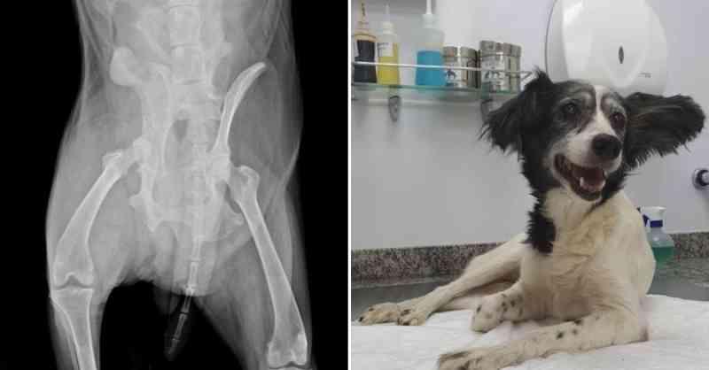 Cachorra atropelada de propósito é resgatada por voluntários, passa por cirurgia e volta a andar
