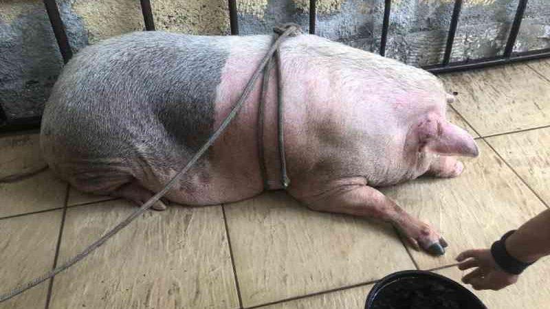 A incrível história de Gabriela, a porquinha resgatada no Morro do Urubu, no Rio