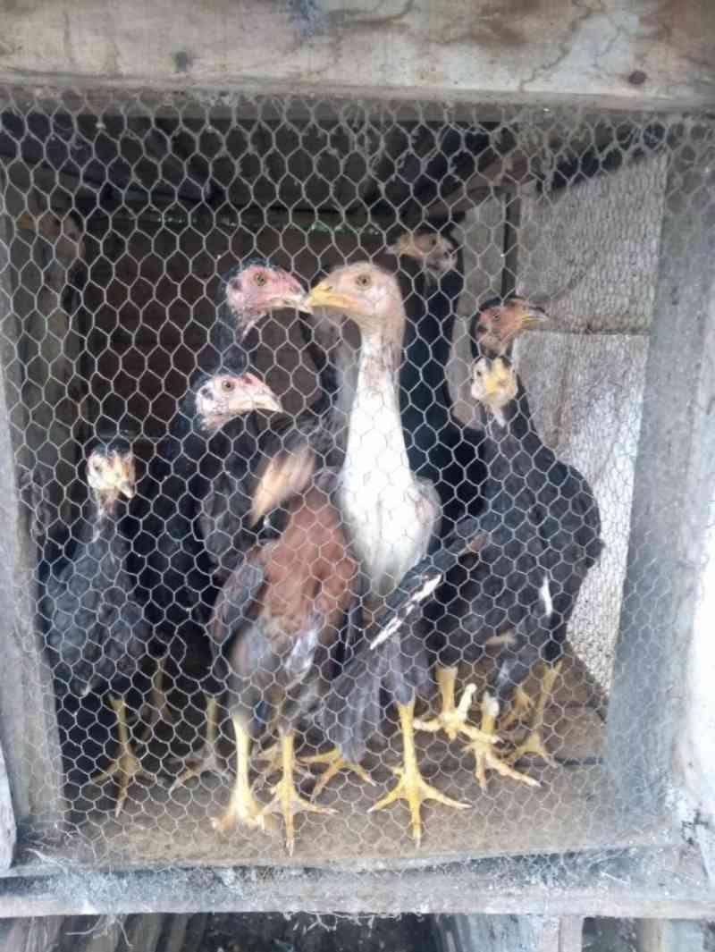 Ação de fiscalização para animais em situação de maus-tratos em Veranópolis, RS
