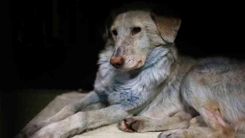 Cachorros de rua com pelo azul são achados na Rússia perto de indústria química