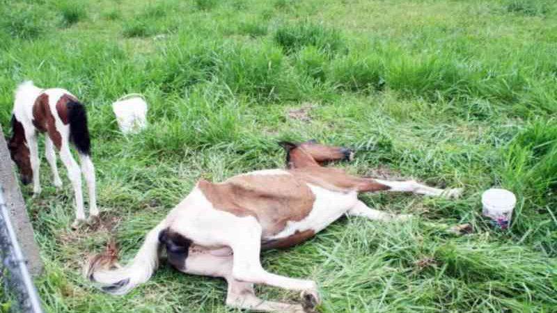 Égua amamentando e morrendo de fome mobiliza ONGs e protetores em Criciúma, SC