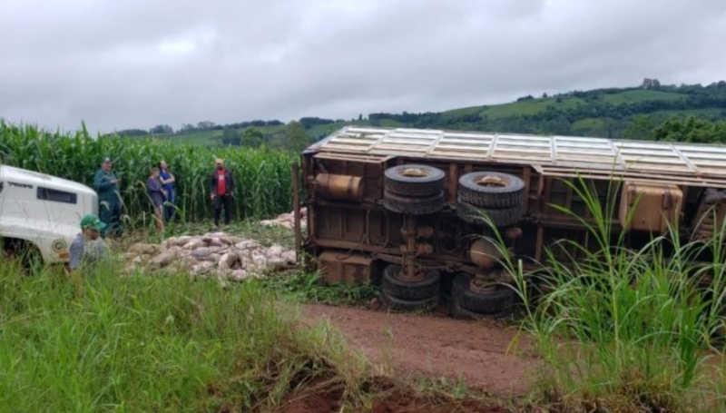 Caminhão carregado com 580 porcos tomba no oeste de SC