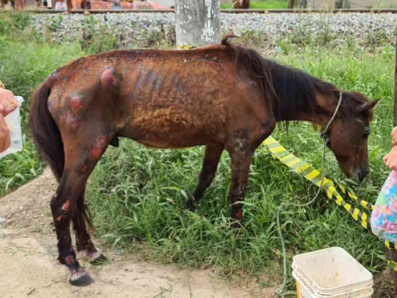 Cavalo vítima de maus-tratos e abandonado é resgatado em Tubarão, SC