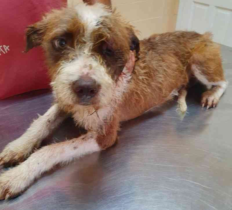 Cadela que foi agredida na rua em Cajati, SP, é resgatada por ONG