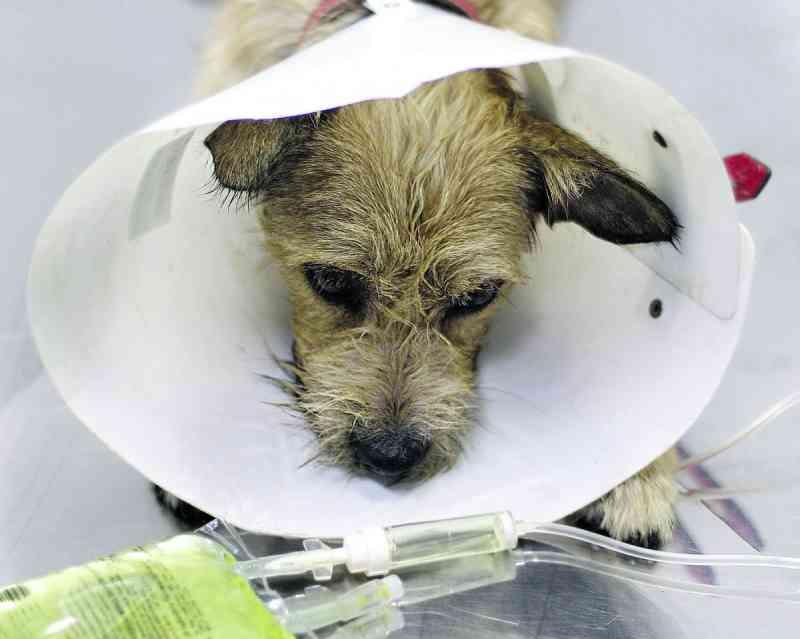 Cão espancado é salvo após ganir três dias numa caixa, em Campinas, SP