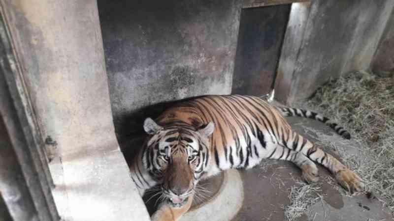 Tigre da Malásia que era exibido ilegalmente em casa noturna é o novo morador do Zoológico de Curitiba, PR