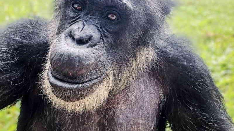 Santuário pede exame complementar após laudo preliminar não apontar causa da morte de macaco Black