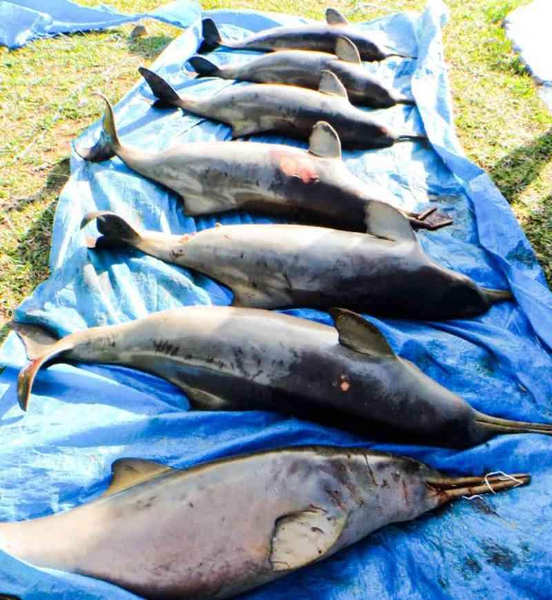 Mais de 300 animais marinhos foram afetados por equipamentos de pesca no litoral de SP; FOTOS
