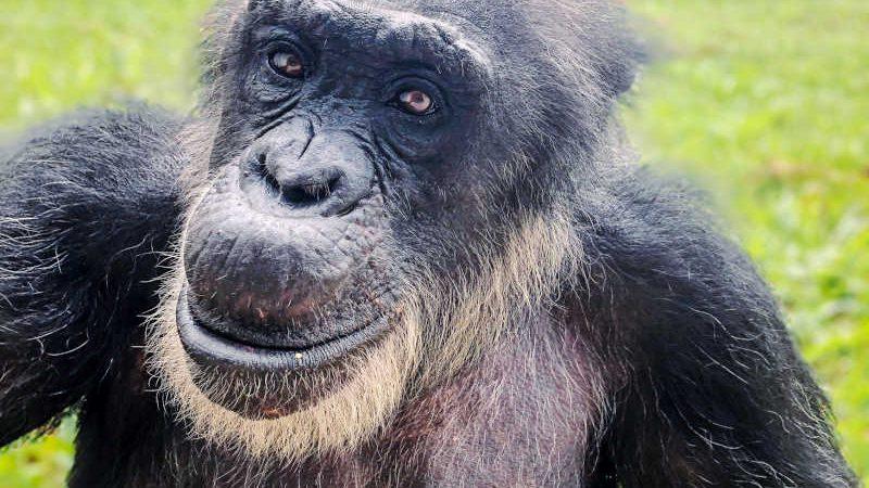 Morre o chimpanzé Black, resgatado do zoológico de Sorocaba, SP