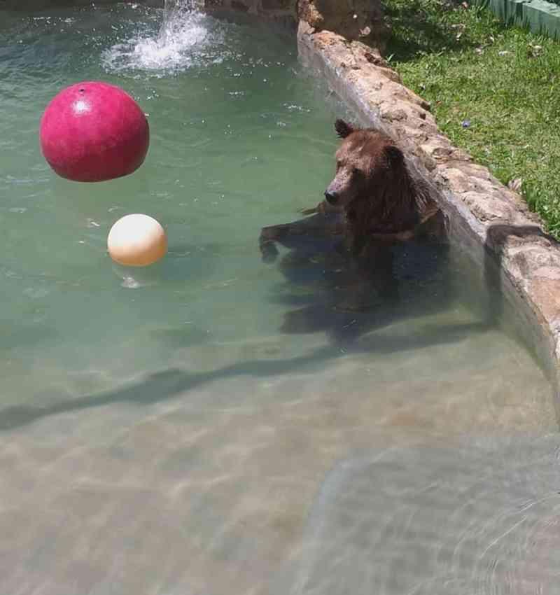 Ursa faz 'hidroginástica' para tratar artrose em santuário de animais no interior de SP
