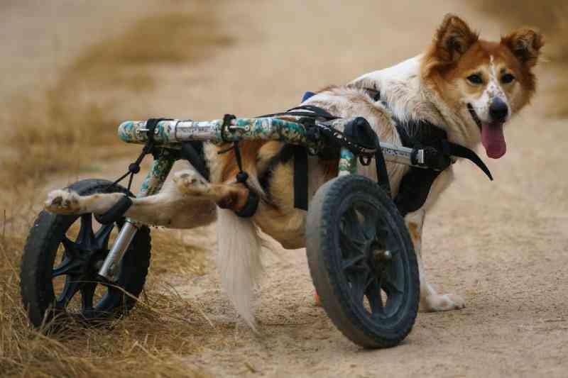 Ameaçados pela pandemia, cães deficientes ganham cadeirinhas de rodas na Tailândia
