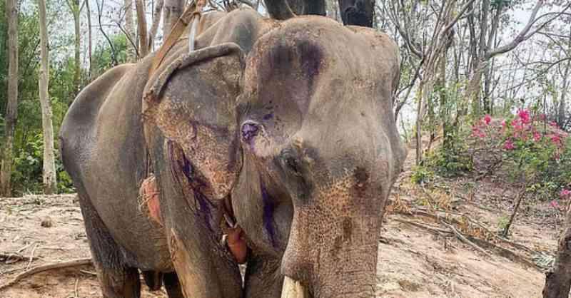 Khun Pan: a vida triste do elefante que estava a morrer por não ser cuidado por quem o explorava