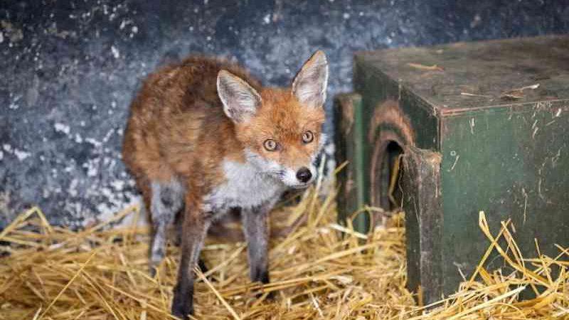 Pub irlandês se torna clínica para animais selvagens devido à pandemia; veja FOTOS