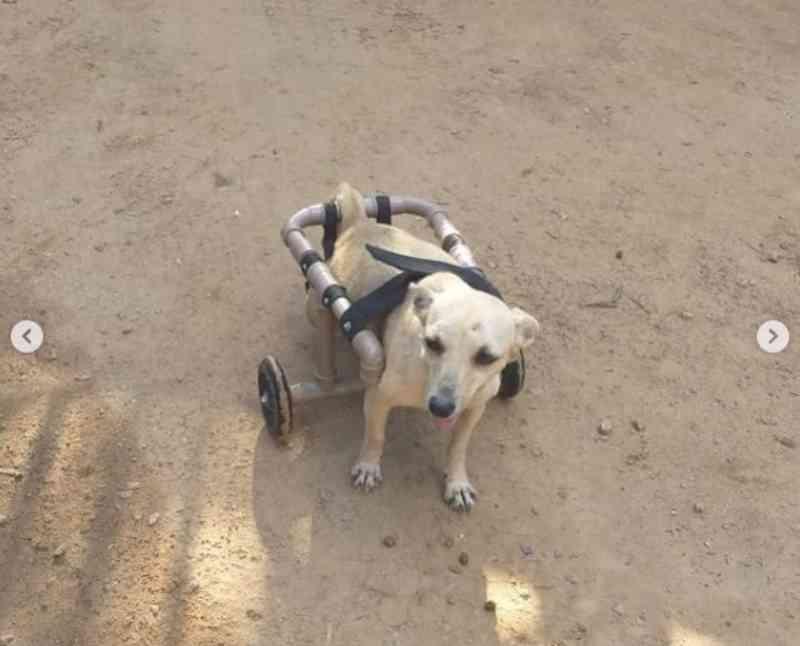 No AC, cachorra que ficou sem andar após tiro encanta em cadeira de rodas e busca adoção