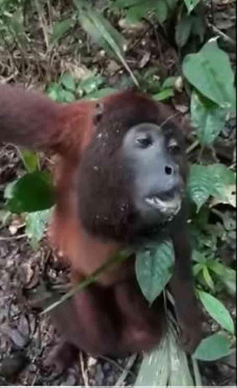 Sociedade Brasileira de Primatologia suspeita que macacos flagrados agonizando em floresta no AC estavam com febre amarela