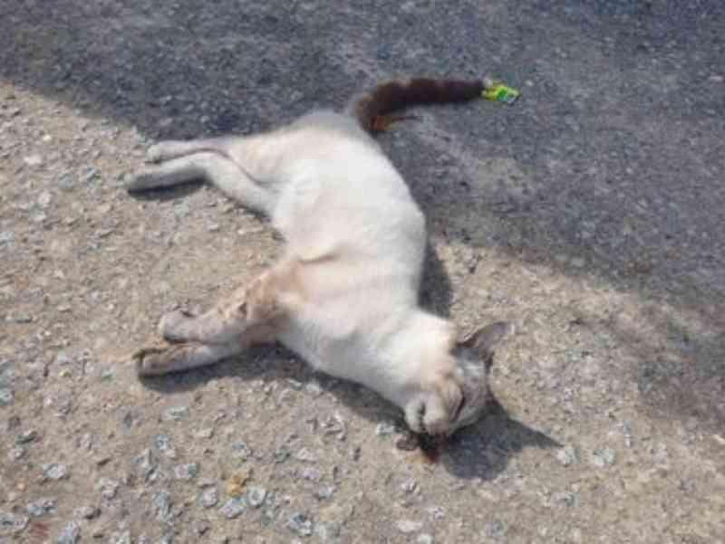 Moradores denunciam envenenamento 'em massa' de gatos no Santo Eduardo, em Maceió, AL