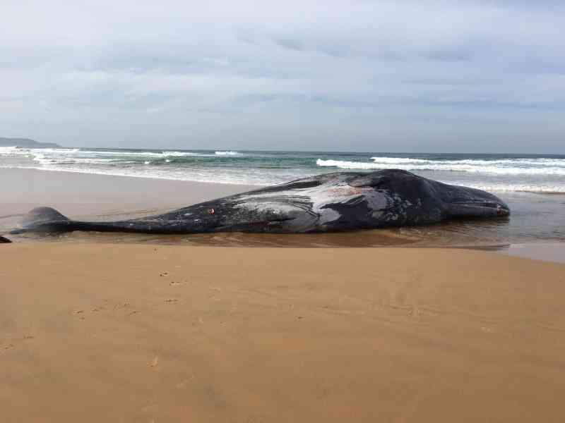 Cachalote misteriosamente aparece morta na Austrália