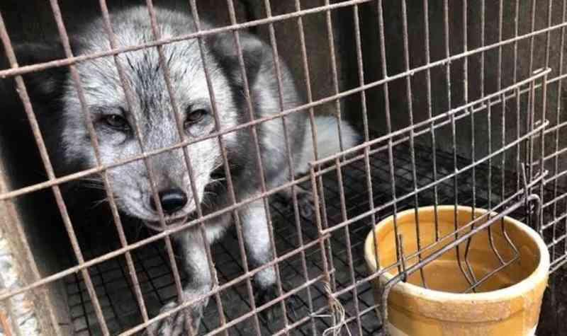 Horror nas fazendas de peles na China: animais aterrorizados em gaiolas minúsculas, eletrocutados e esfolados