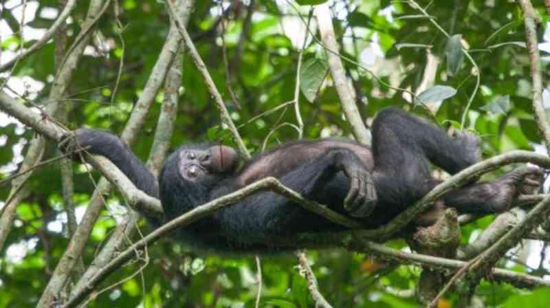 Iniciativa japonesa de pesquisa protege bonobos no Congo e apoia povo da floresta