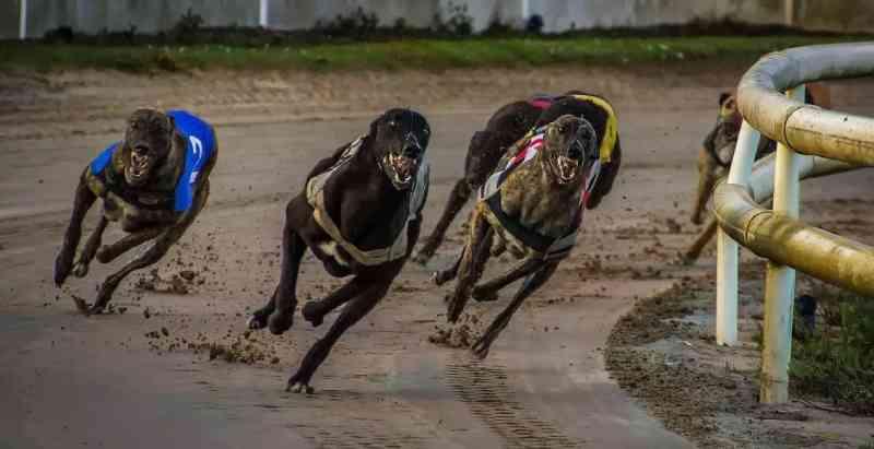 Corrida de galgo: a centenária e cruel indústria com cães da raça na Flórida, EUA