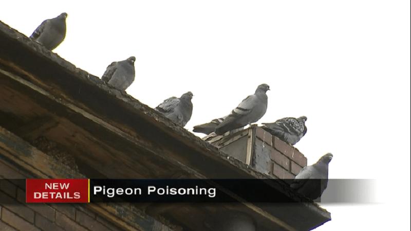Empresa é acusada de crueldade após pombos serem envenenados em Pittsburgh, EUA