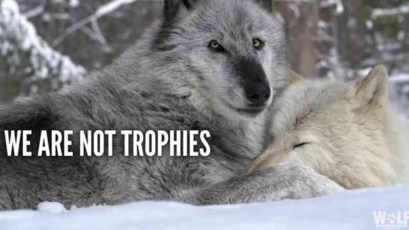 Caçadores matam 216 lobos em menos de 60 horas e provocam indignação