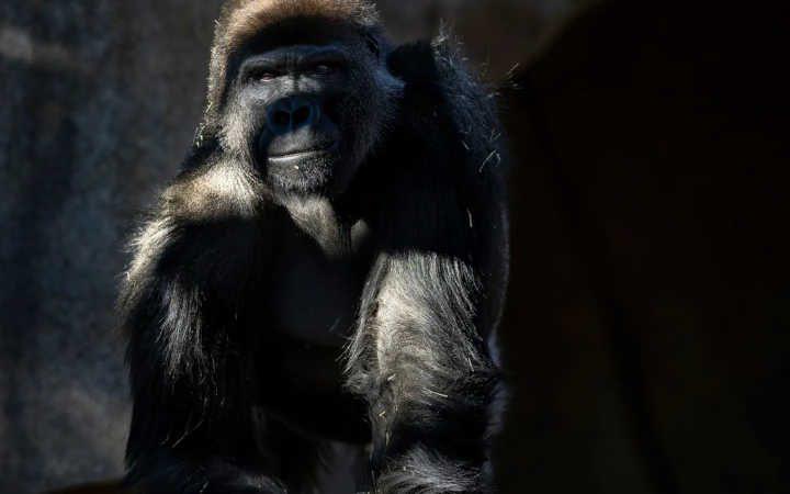 Frank, um gorila de 12 anos do Zoo Safari Park de San Diego, fotografado após recuperar de uma infeção de coronavírus. Depois de o seu grupo de oito gorilas-ocidentais-das-terras-baixas ter adoecido em janeiro, a equipa do zoo recebeu vacinas experimentais para a COVID-19 da empresa farmacêutica veterinária Zoetis, para administrar aos outros primatas que estão ao seu cuidado, incluindo bonobos e orangotangos. FOTOGRAFIA DE BRENT STIRTON