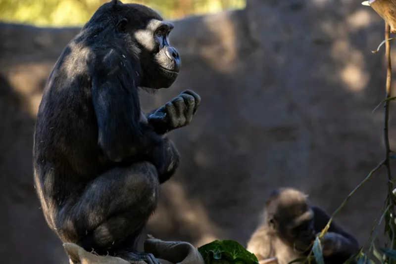 Novamente saudáveis, dois membros do grupo de gorilas relaxam no seu habitat. A equipa de Nadine planeia administrar-lhes a vacina experimental no final desta primavera. FOTOGRAFIA DE BRENT STIRTON, GETTY IMAGES FOR NATIONAL GEOGRAPHIC