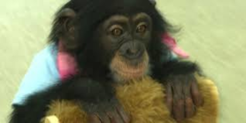 Petição! Parem de usar a bebê chimpanzé Purin para entretenimento!
