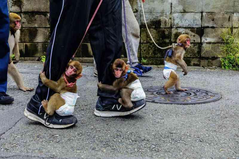 Apresentações com macacos no Japão: entre tradição e abuso