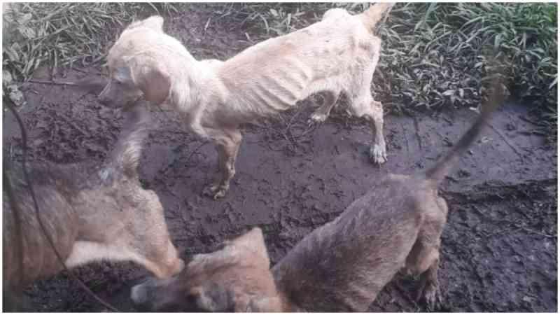 Famintos e machucados: cães agonizam em Tiradentes (MG) e protetores pedem ajuda