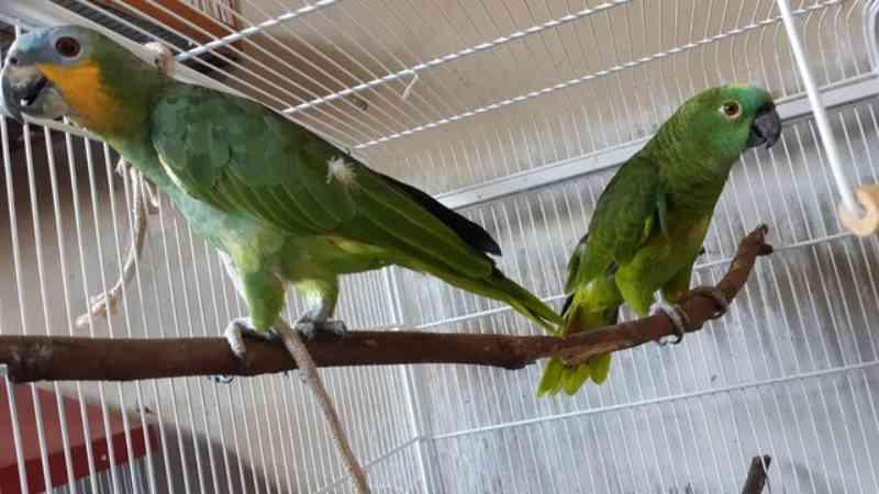 Polícia Ambiental apreende aves da fauna silvestre em Uberaba (MG) e morador é multado