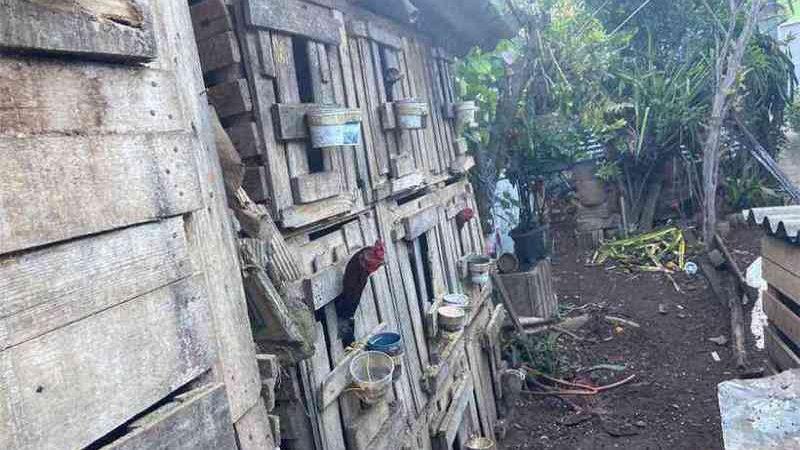 Operação 'Raposa no Galinheiro' liberta galos de maus-tratos em Minas Gerais